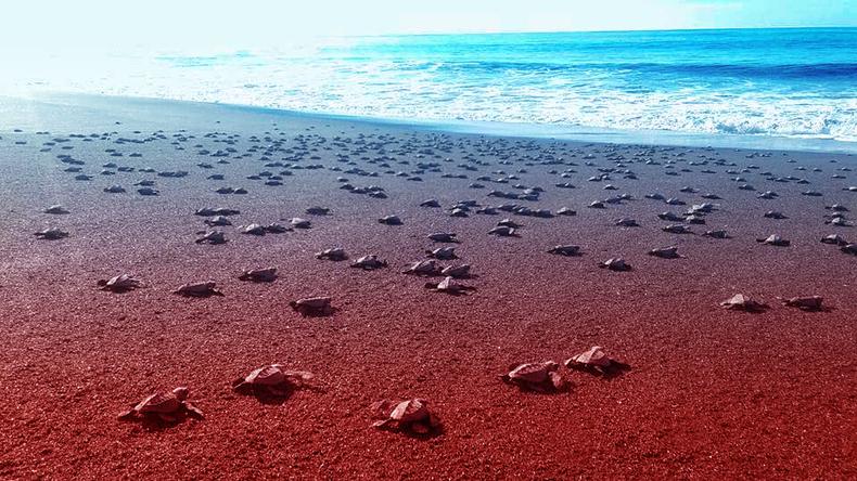 Tortues de mer de Monterrico