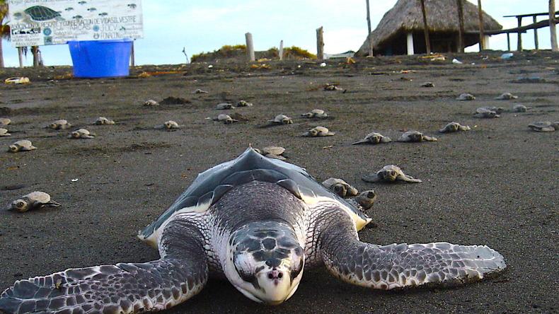 Tortue de mer et conservation marine à Monterrico