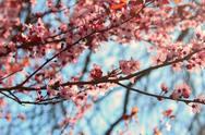 Festival kvitnúcich čerešní Yeouido