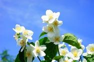 Jasmine Festival