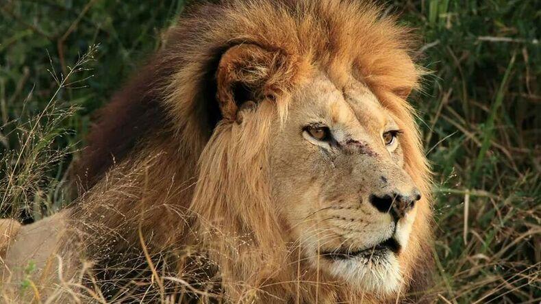 Lion in Addo